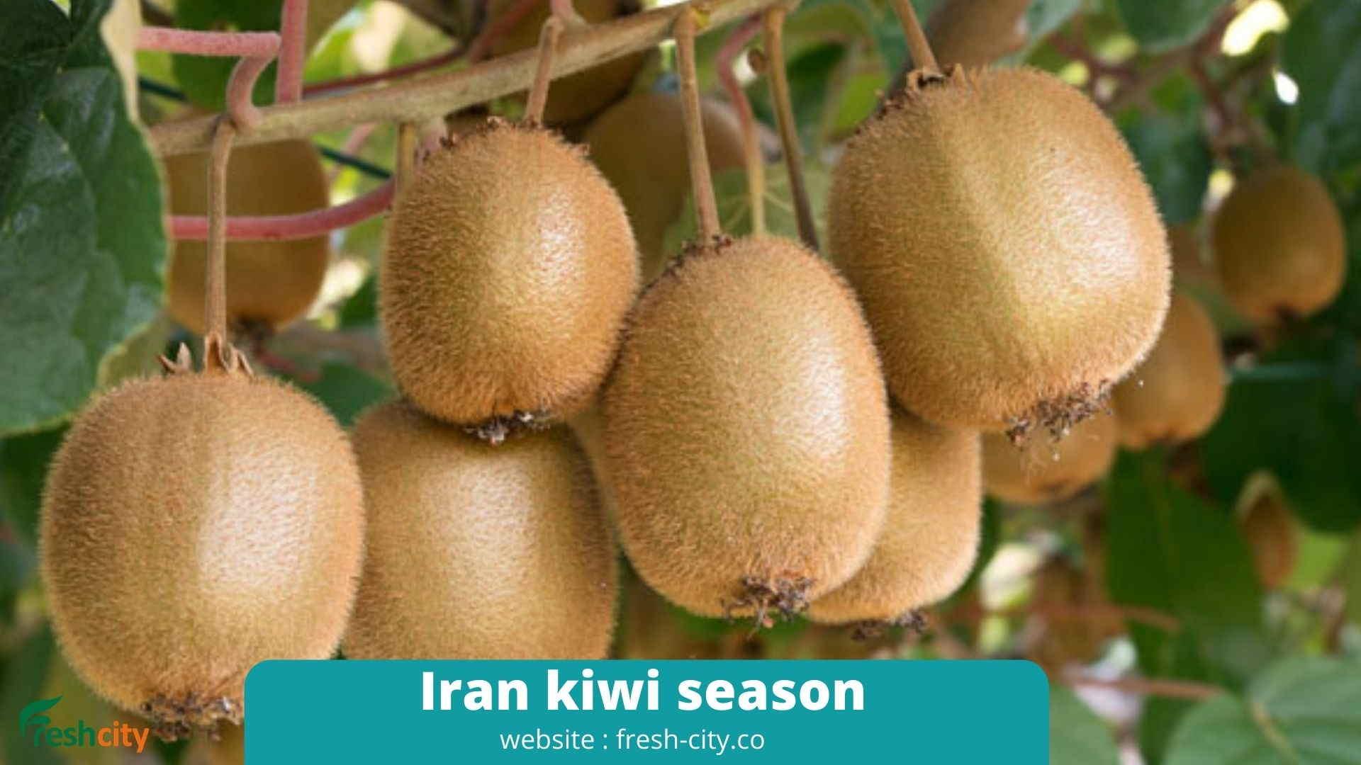 Iran kiwi season