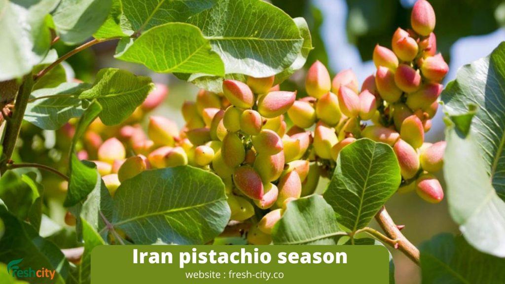 Iran pistachio season
